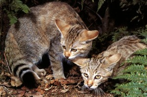 European wildcat