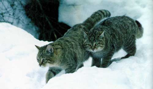 Felis Silvestris Caucasica, archetype for Siberian cats